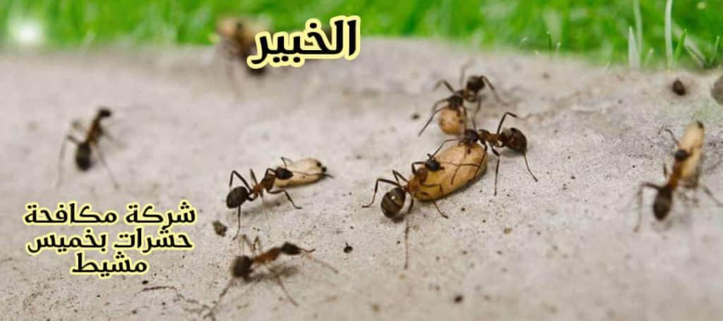 شركة مكافحة حشرات بخميس مشط